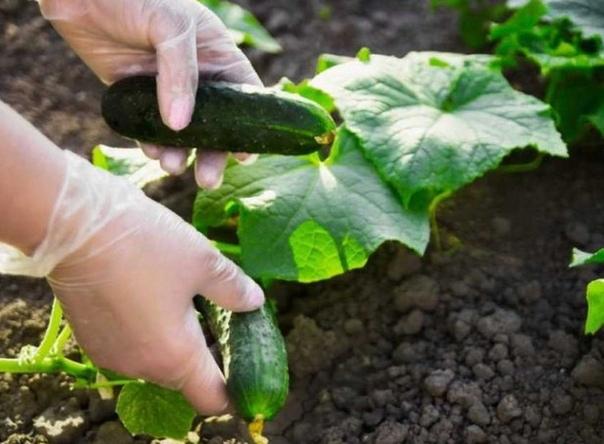 Лучшие подкормки для отменного урожая огурцов