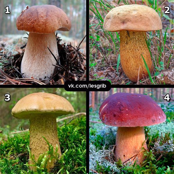 Перед вами четыре гриба, все они относятся к семейству болетовых, а потому имеют внешнее сходство друг с другом