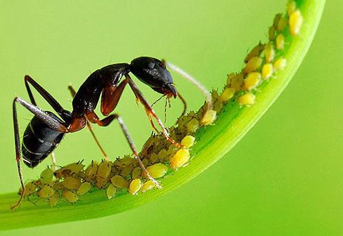 Тлю и муравьев - одним ударом!