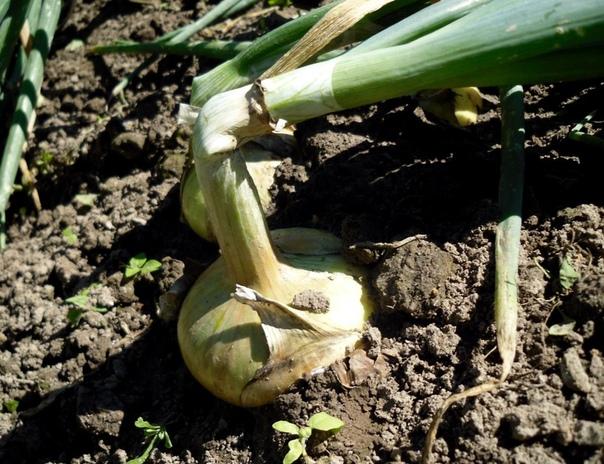 Секреты лукового урожая.