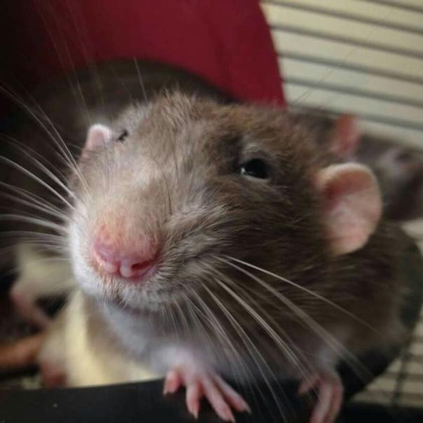 Картинки крыс смешные