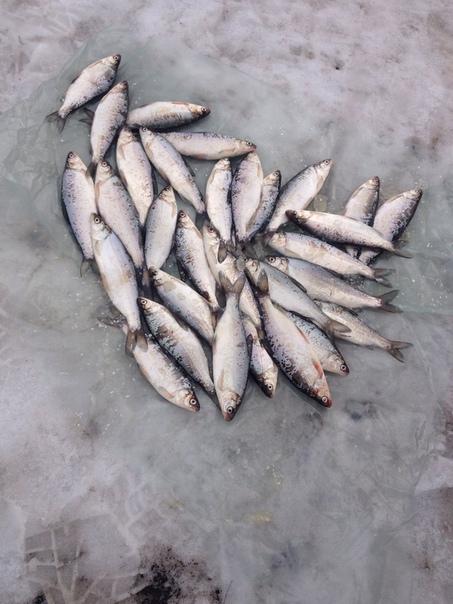 Ловля сига зимой на платной рыбалке Шабровский пруд Статья