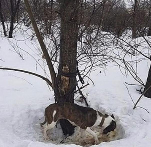 В Новосибирске изверги вывезли породистую собаку в лес и оставили умирать на холоде, привязав к дереву К счастью, ее обнаружили неравнодушные прохожие, которые выволокли бедолагу из плена. Ее