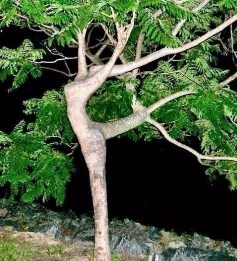 "Дерево-""балерина"""